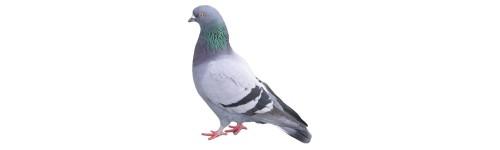 Pics Pigeons