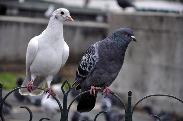 Pigeon parasitox - Faire fuir les pigeons ...