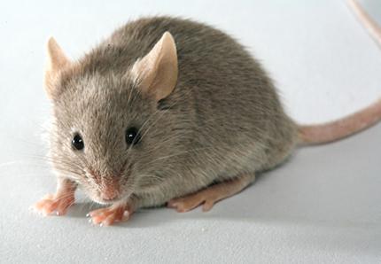anti souris trouvez la solution parasitox. Black Bedroom Furniture Sets. Home Design Ideas